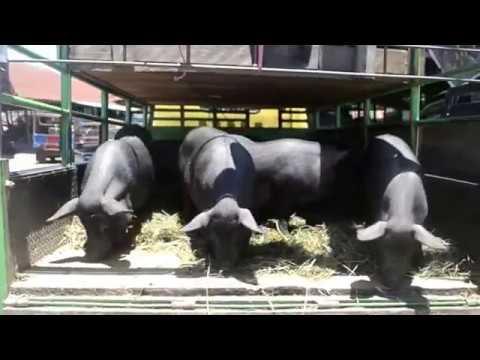Babi di Pasar Bolu Rantepao, Toraja Utara