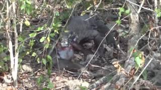 Komodo Dragon Hunts and Eats Monkey