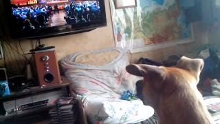 Собака смотрит телевизор (-: