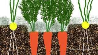 Выращивание моркови, лука, чеснока, сельдерея(http://prirodnoezemledelie.com Семинар Клуба органического земледелия