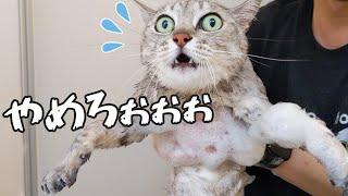 お風呂でいつもと違う洗い方をしたら鳴き叫んでしまった猫マロちゃん