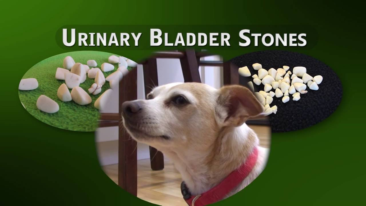 Cystotomy 655 Removal Of Bladder Stones In Dogs And Cats