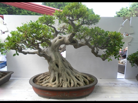 Look beautiful outdoor bonsai trees ii youtube - Bonsai zimmerpflanze ...