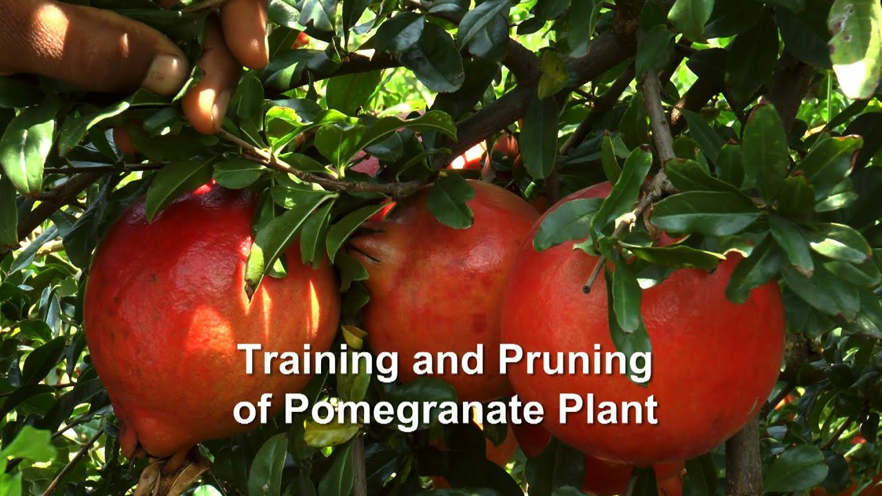 Training And Pruning Of Pomegranate Plant Youtube