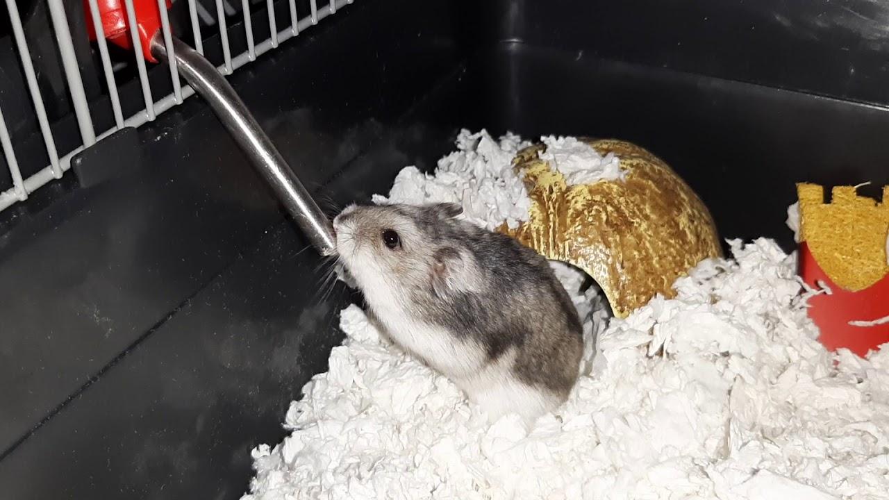 Hamster mp4