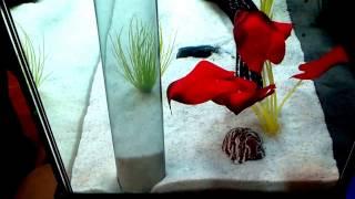 Сифонка в аквариуме