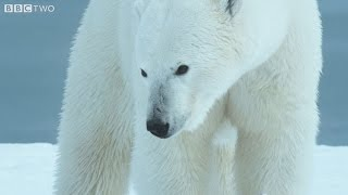 Perplexed polar bears on thin ice - Alaska: Earth's Frozen Kingdom - Episode 3 Preview - BBC Two