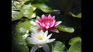 Кувшинки в пруду, нимфеи, водяная лилия, Nymphaea, water lily, Finca El Porton, 21/06 - 08/07/2017