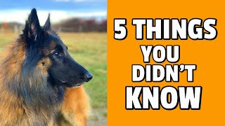 5 Things You Didn't Know about the Belgian Shepherd Dog