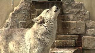 Wolf Haven and Wildlife Conservation | Busch Gardens Williamsburg