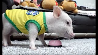 This Pig Isn't Just Adorable, He's Also Brilliantly Smart | Kritter Klub