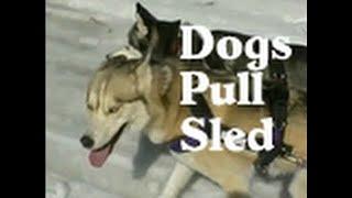 Siberian Husky Pull A Canadian Kicksled
