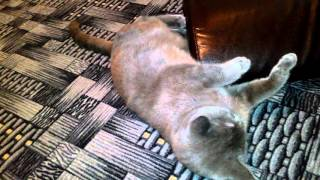 Почему Мурлыкает Кошка