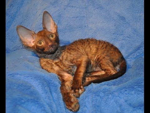 Шоколадный котик корниш рекс