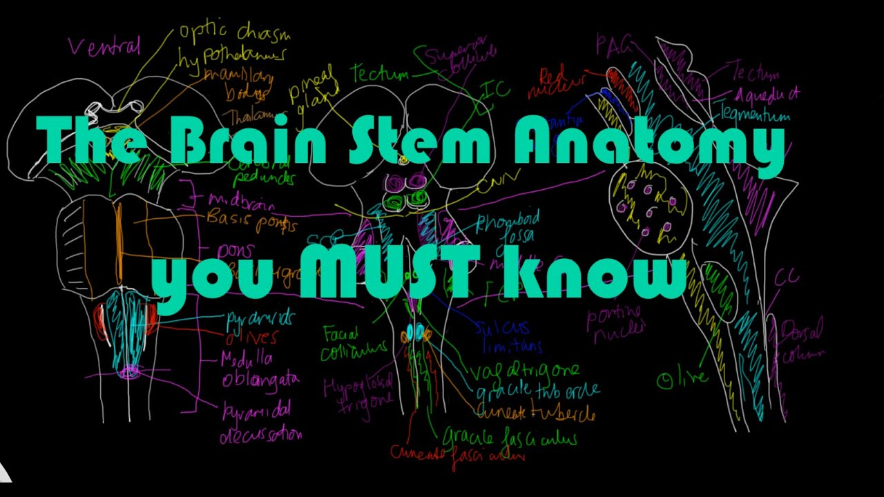 Brain stem Anatomy #1 - All the major structures you MUST know - YouTube