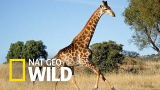 Zwierzaki w amoku - Pościg żyrafy