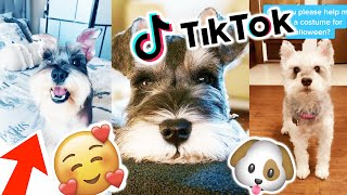 This video will make you LOVE Schnauzers  | Dog & Puppy Compilation TikTok Pt.3 | August 2020