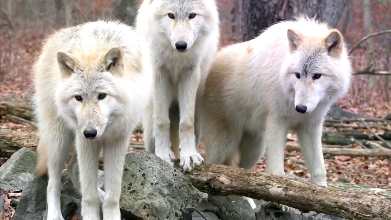 Фото пара волки