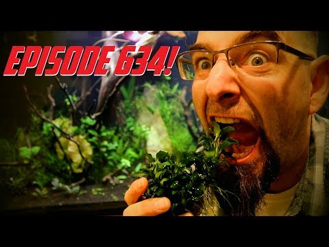 Episode 634! Gluing Anubias Nana Petite underwater in a 150 Gallon Aquarium!