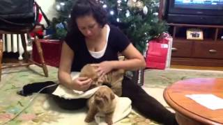 Shar Pei Puppies.  -dec.  2013