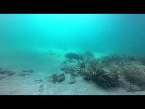 Sugarloaf Key, FL - Goliath Grouper - 08042015