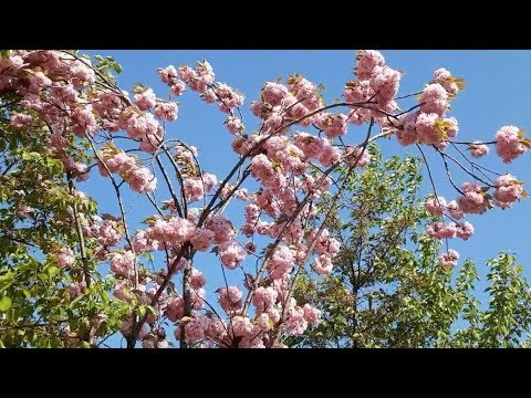 Футаж - Интро. Красивое цветущее дерево на ветру. Footage ...