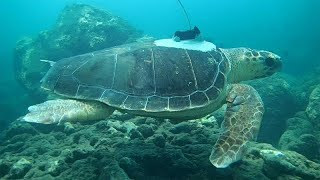Meet the researchers using sea turtles to learn more about cyclones