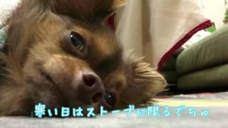 ストーブの前は暖かいでちゅ♡ A chihuahua seems comfortable in front ...