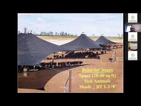 Heat Stress Mitigation for Feedlot Cattle