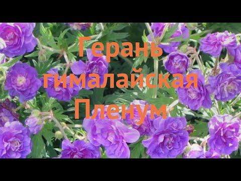 Герань гималайская Пленум (geranium x hibridum starman) 🌿 обзор: как сажать, саженцы герани Пленум