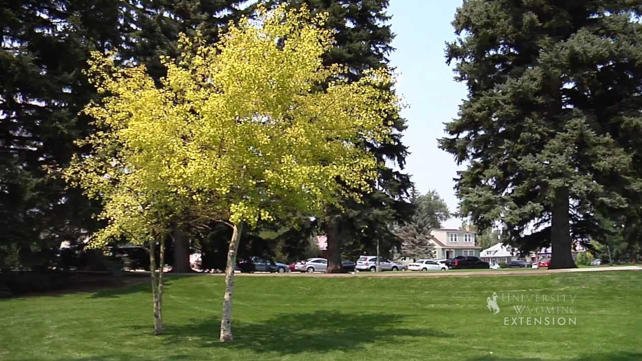 Landscaping With Aspen From The