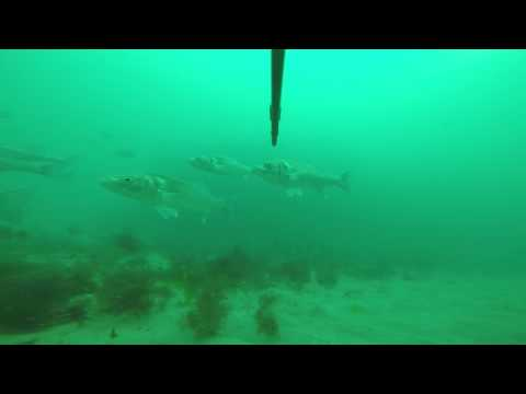 Spearfishing For European Seabass In Wales UK