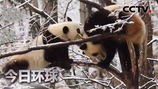 [今日环球] 陕西:秦岭春雪 大熊猫雪地比武撒欢萌态足 | CCTV中文国际