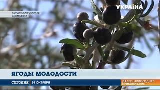 В Херсоне вырастили тибетские ягоды Годжи