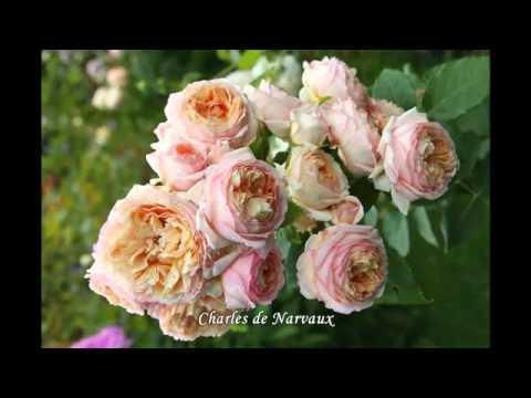 Rosa aspirin-rose. (rosen tantau, 1997). Роза аспирин-розе. Период поставки. Стандарт поставки. Цена. Начало февраля. Привитой саженец в пакете,