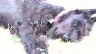 Giant Schnauzer Vs Jack Rusell Terrier