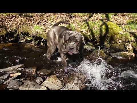 Neapolitan Mastiffs Love the River -Walking On Super Hot Days