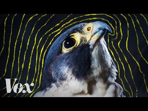 Why peregrine falcons are the fastest animals on earth