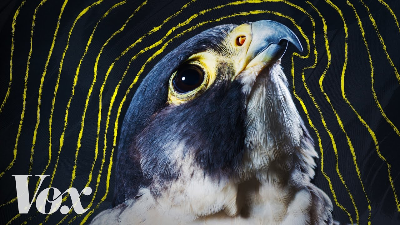 why-peregrine-falcons-are-the-fastest-animals-on-earth