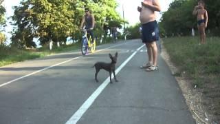 Щенок мексиканской голой собаки(мини-ксоло)Питомник S
