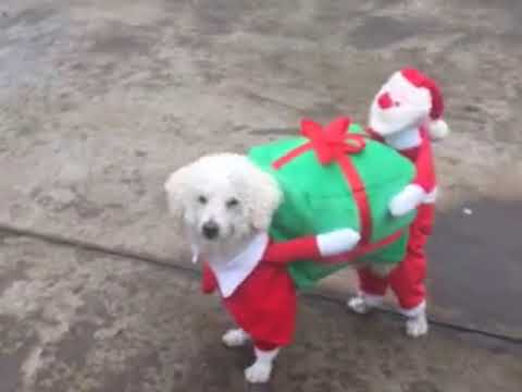 dog cat carry a christmas present costume youtube. Black Bedroom Furniture Sets. Home Design Ideas