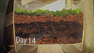 Layered worm bin 8-week time-lapse - ALL FRAMES - vermicomposting