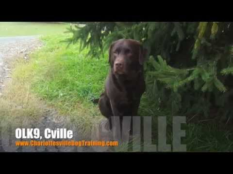 2 Year Old Labrador Retriever 'Wally' Before/After Video   Dog Trainers Charlottesville