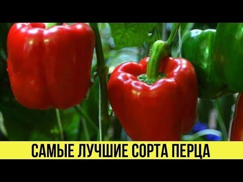 САМЫЕ лучшие СОРТА ПЕРЦА для теплиц с большим урожаем с куста Описания и характеристики | болгарский | урожайные | урожайны | описание | перцев | лучшие | сорта | самые | перцы | перца