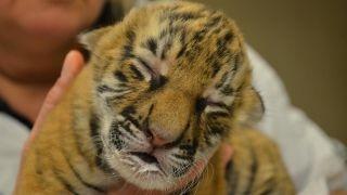 Baby boom! Life after Harambe's death at Cincinnati Zoo