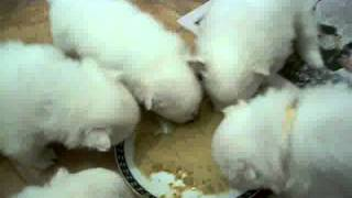 Japanese Spitz puppies first solid feed