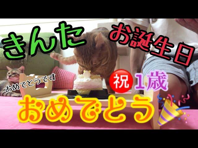 猫のきんた、1歳の誕生日に猫用ケーキ買ってみたが…!
