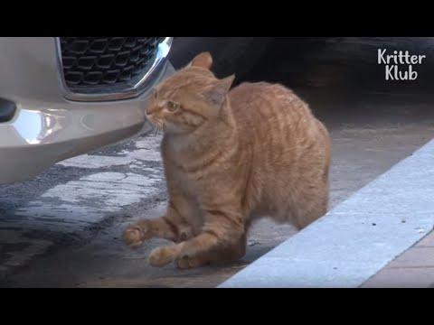 Cat With A Disability In His Legs Waits For A New Family | Animal in Crisis EP53