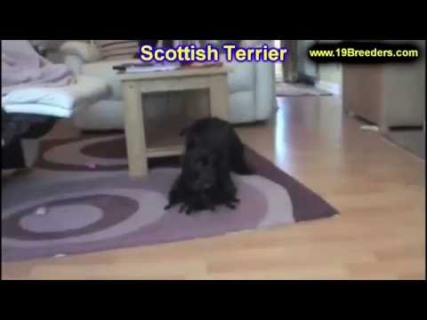 Scottish Terrier, Puppies, Dogs, For Sale, In Albuquerque, New Mexico, NM, 19Breeders, Rio Rancho