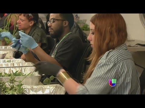Crece el negocio de la marihuana legal en EEUU -- Noticiero Univisi�n